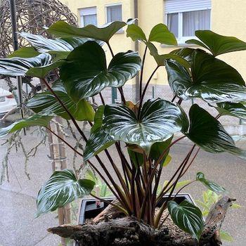 Zimmerpflanze Homalomena