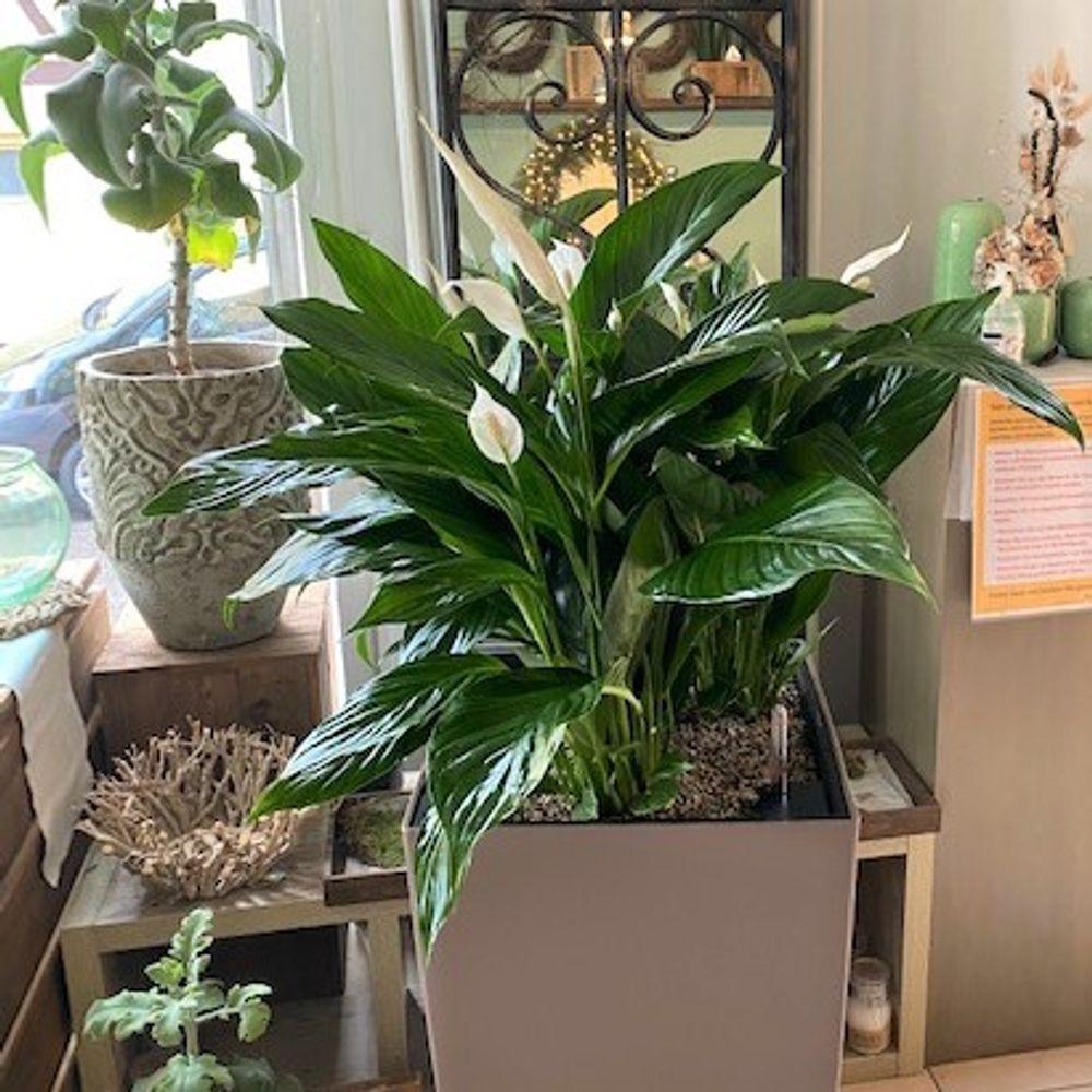 Grünpflanze Spathiphyllum - zoom