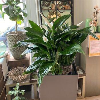 Grünpflanze Spathiphyllum