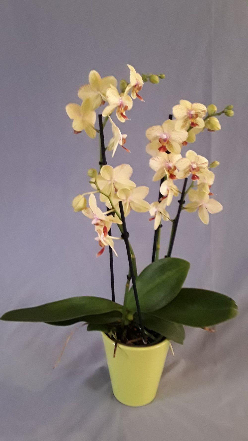 Orchideen - zoom