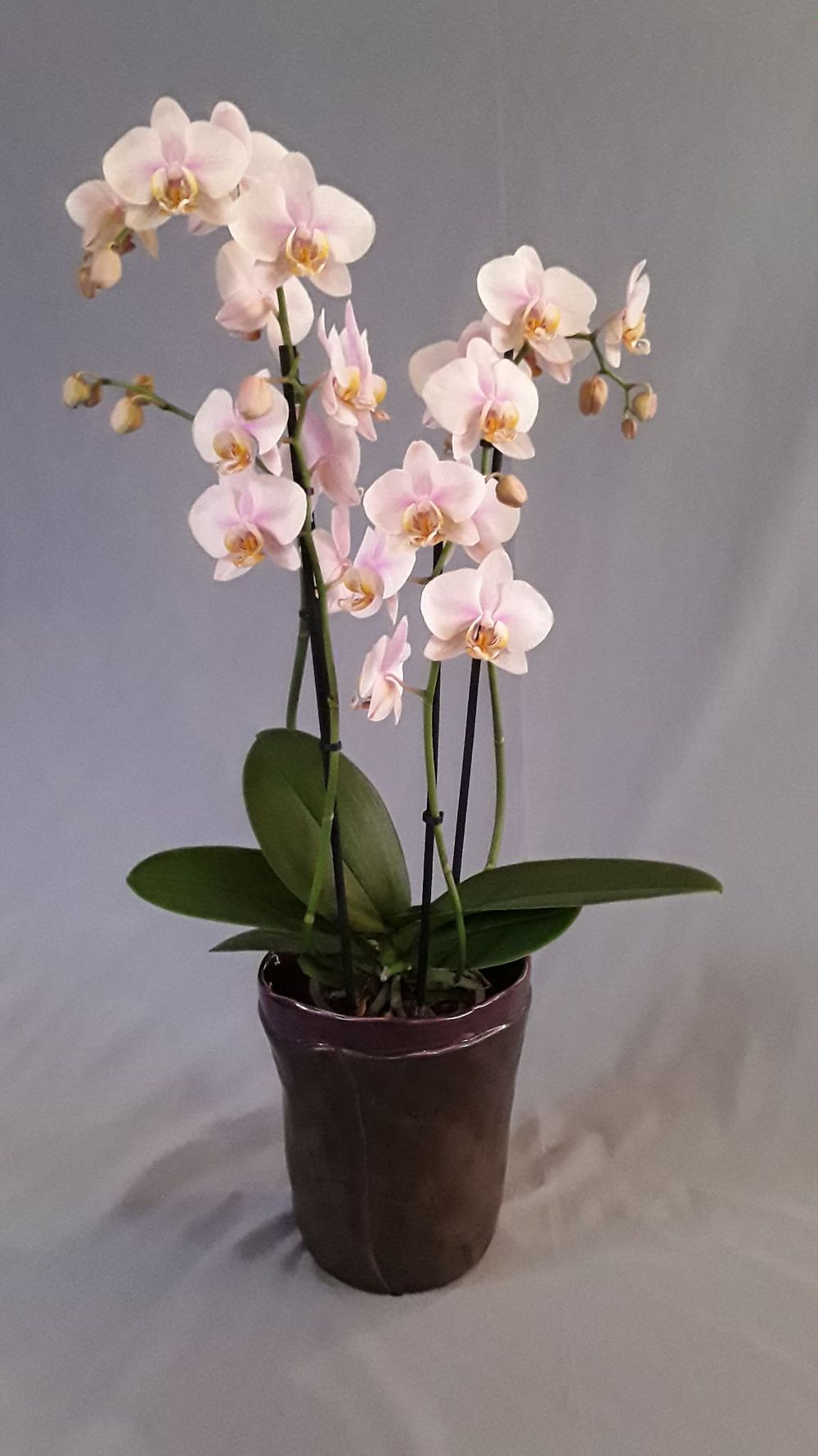 Orchidee rosa - zoom