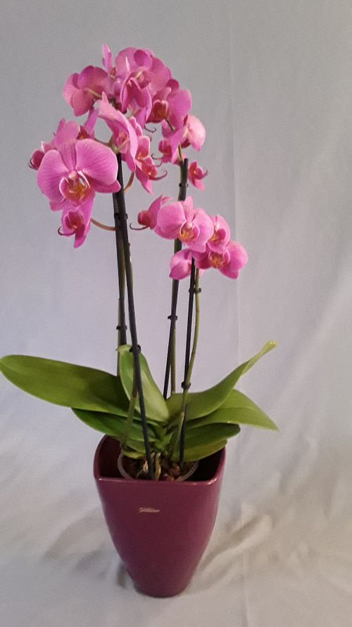 Orchidee pink lila